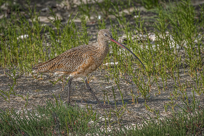 """Little Curlew"""