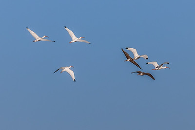 """High Flying Ibises"""