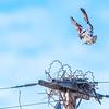 """""""High Voltage Osprey"""""""