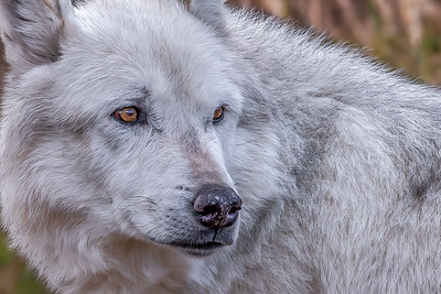 """Gray Wolf Gaze"""