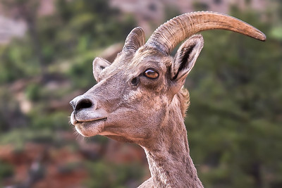 """Big Horn Sheep"""
