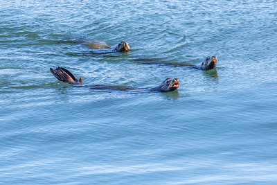 """Sea Lion Swimmers"""