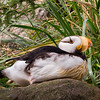 Horned Puffin relaxing on pretty morning at the Oregon Coast Aquarium on beautiful Yaquina Bay in Newport, Oregon.
