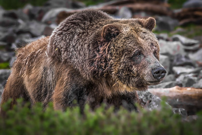 """Prowling Grizzly"""