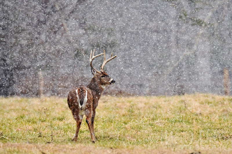 Buck In A Squall