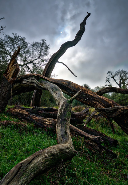 A crooked tree in Effie Yeaw Nature Preserve