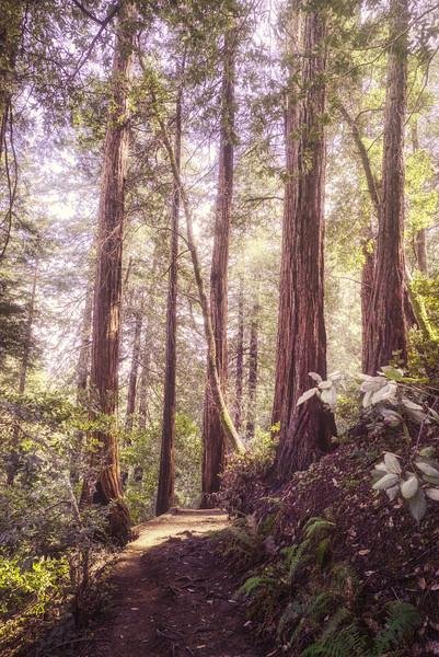The sun shining through the redwoods.