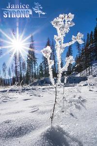 001-Kimberley NOrdice X-C-Ski-Trails-3004-Sunburst-plant