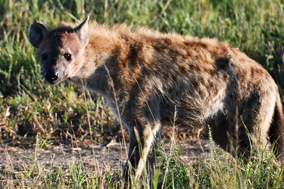 NEA_1120-Hyena