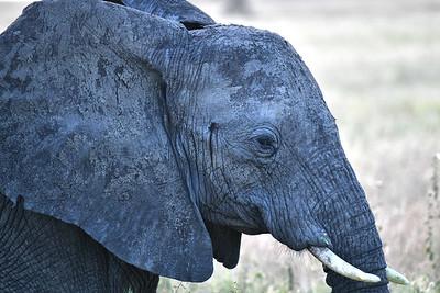 NEA_0940-Elephant
