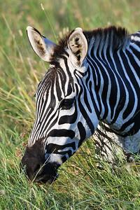NEA_1015-Zebra