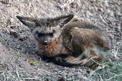 NEA_0991-Bateared Fox