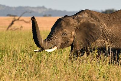 NEA_1091-Elephant