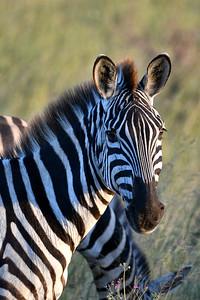 NEA_1059-Zebra