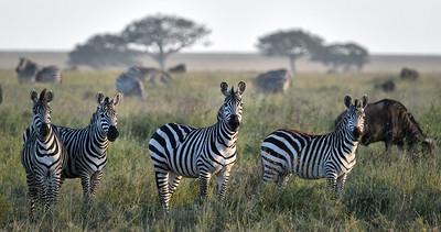 NEA_1051-Zebra