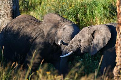 NEA_1100-Elephants Battle