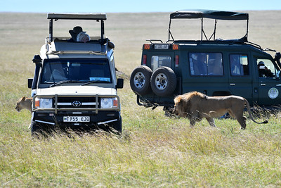 NEA_2366-Lions-Close to cars