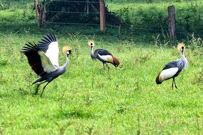 NEA_0098-Crested Stork