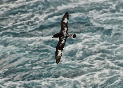 ANT_1273-7x5-Cape Petrel
