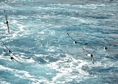 ANT_1160-7x5-Cape Petrels