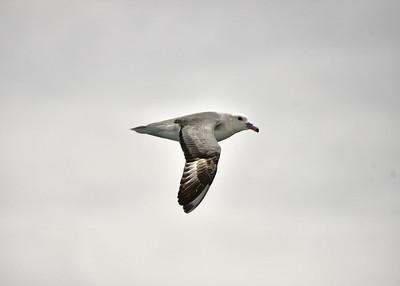 ANT_0856-7x5-Albatross