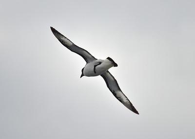ANT_1590-7x5-Albatross