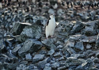 ANT_2002-7x5-Penguin