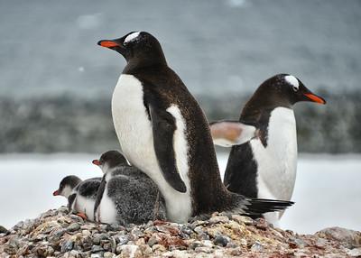 ANT_2552-7x5-Penguin-Chicks