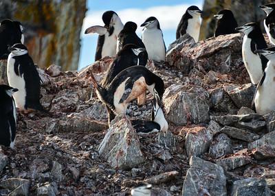 ANT_2000-7x5-Penguins