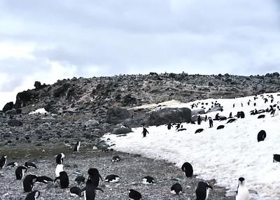 ANT_1854-7x5-Penguin Is