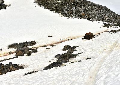 ANT_2448-7x5-Penguin Trails
