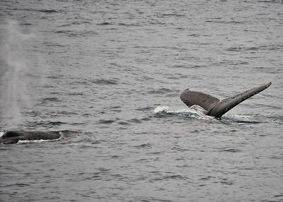 ANT_7307-7x5-Whale