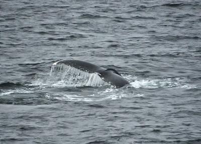 ANT_6908-7x5-Whale