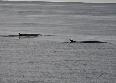 ANT_1422-7x5-Minke Whales