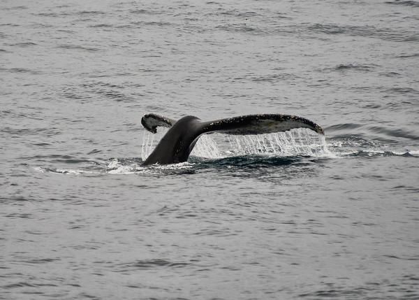 ANT_7305-7x5-Whale