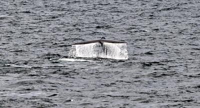 ART_0041-Blue Whale-Fluke