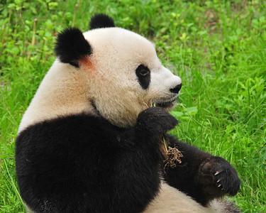 CHI_2237-10x8-Panda