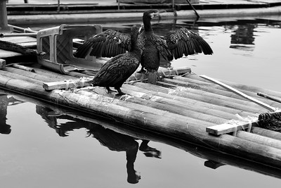 CHI_0705-Cormorant drying wings