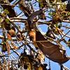IND_2623-7x5-Fruit Bat