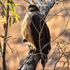 IND_4763-7x5-Snake Eagle
