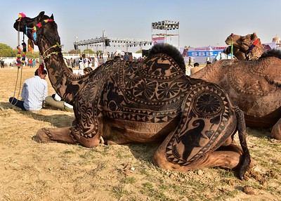 IND_0818-7x5-Camel Tatoo