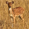 IND_4717-7x5-Baby Spotted deer