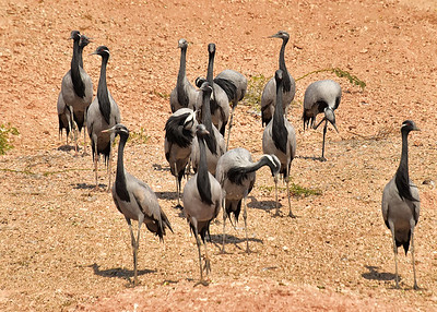 IND_1026-7x5-Cranes