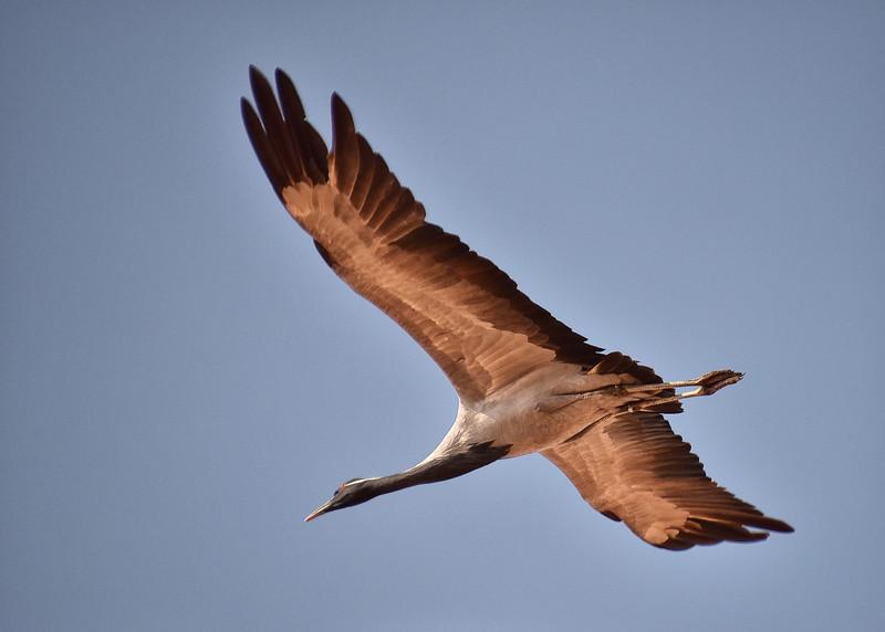 IND_1228-7x5-Crane in Flight
