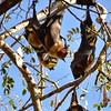 IND_2621-7x5-Fruit Bats