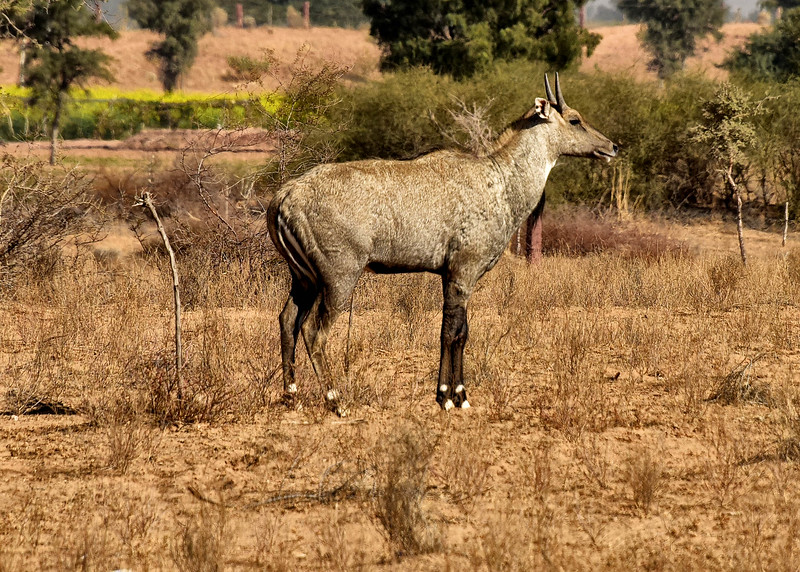 IND_1836-7x5-Blue Buck