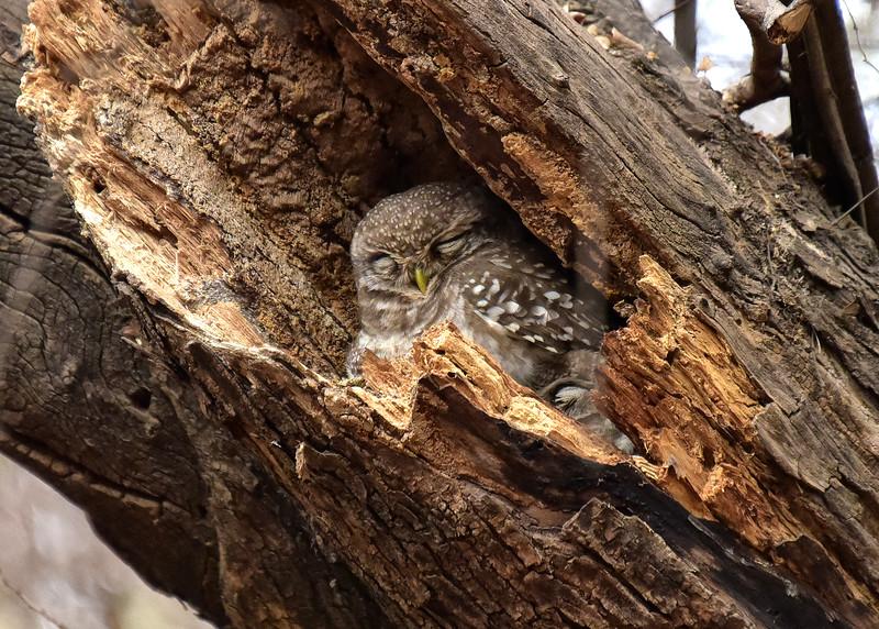 IND_4789-7x5-Owl sleeping