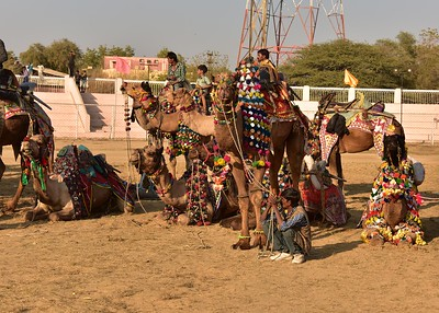 IND_0873-7x5-Camels ready for show