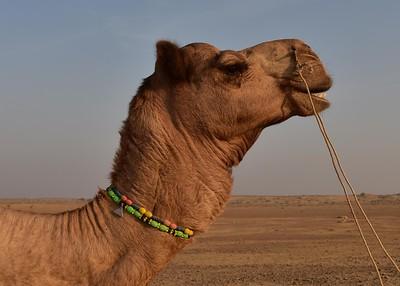 IND_1666-7x5-Camel