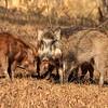 IND_4655-7x5-Wild boar
